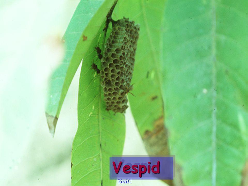 Vespid