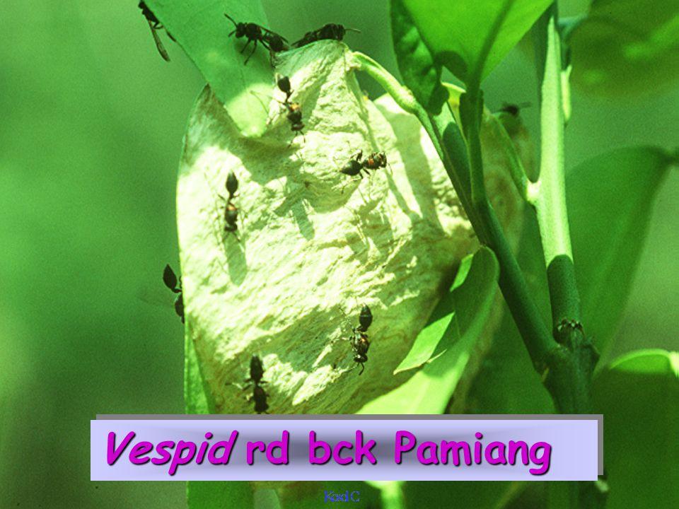 Vespid rd bck Pamiang