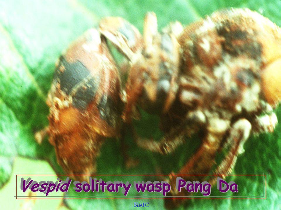 Vespid solitary wasp Pang Da