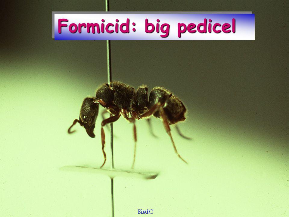 Formicid: big pedicel