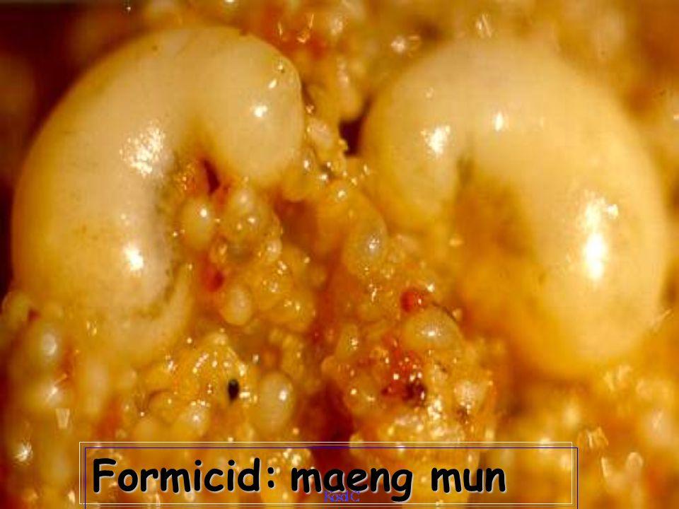 Formicid: maeng mun