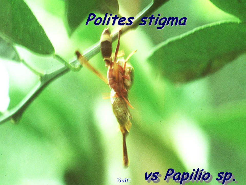 Polites stigma vs Papilio sp.
