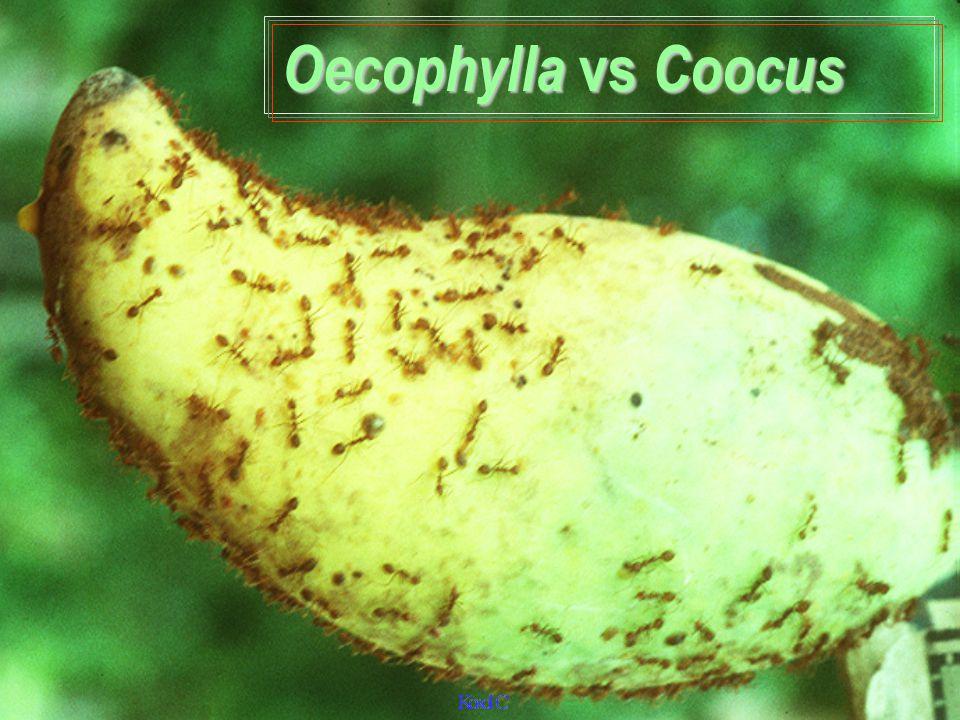 Oecophylla vs Coocus