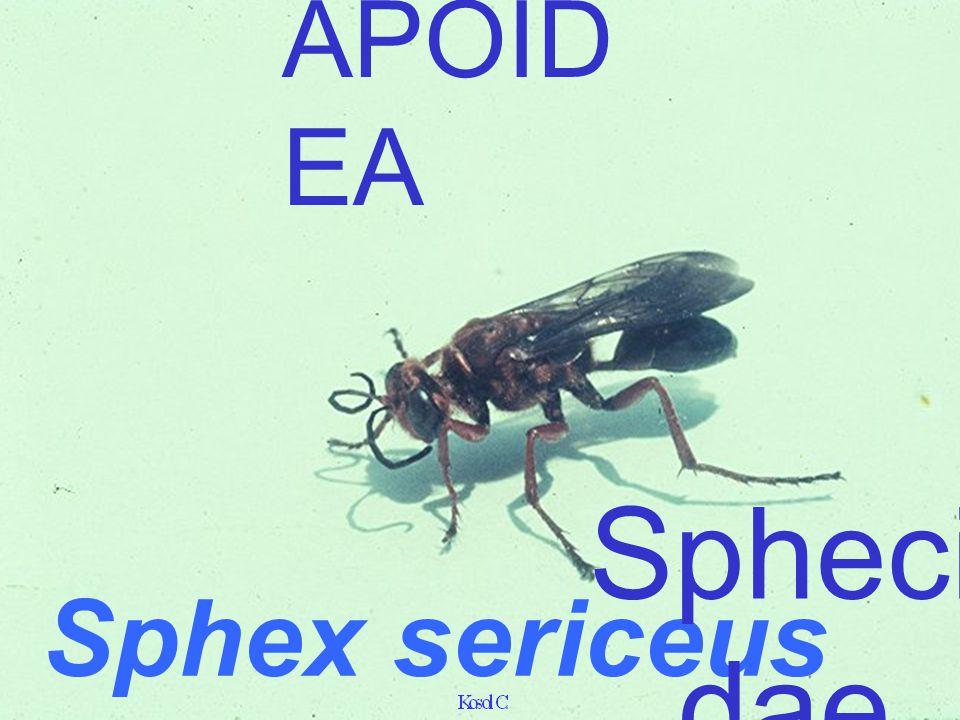 APOIDEA Sphex sericeus Sphecidae
