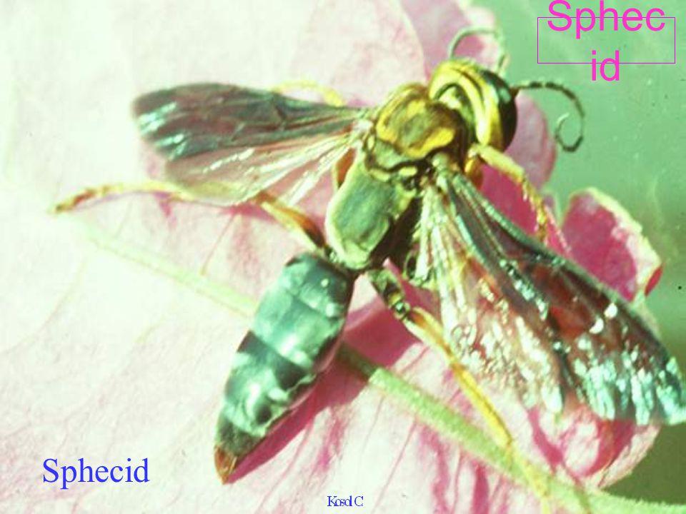 Sphecid Sphecid