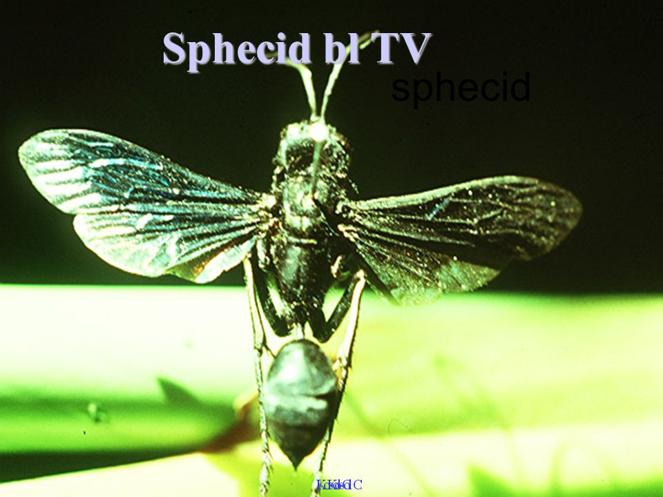 Sphecid bl TV sphecid