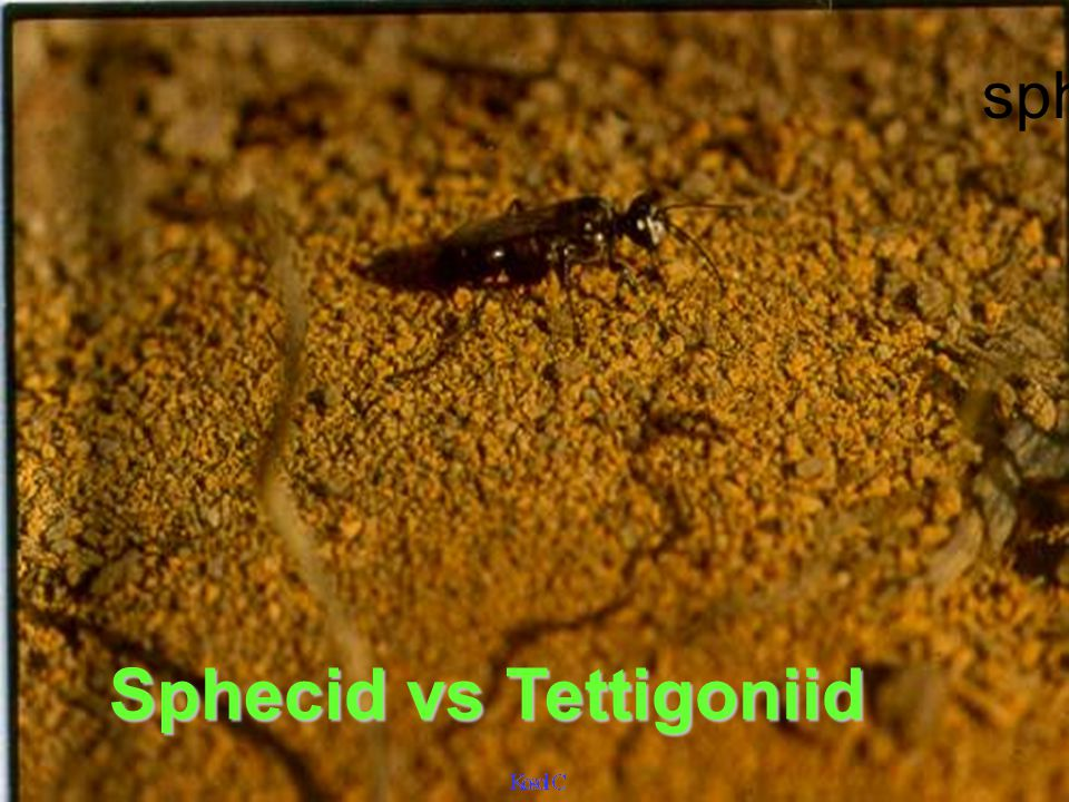 Sphecid vs Tettigoniid
