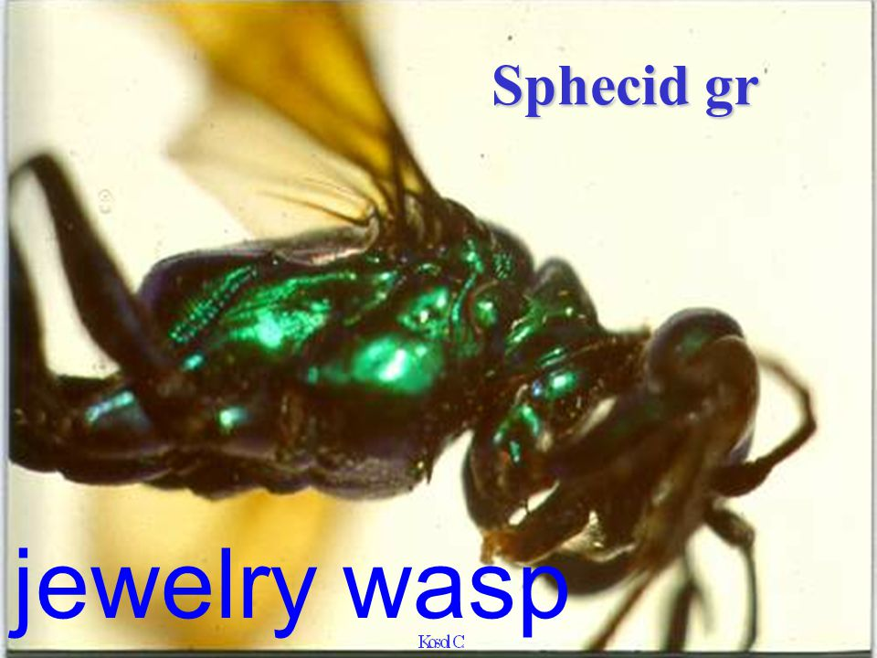 Sphecid gr jewelry wasp