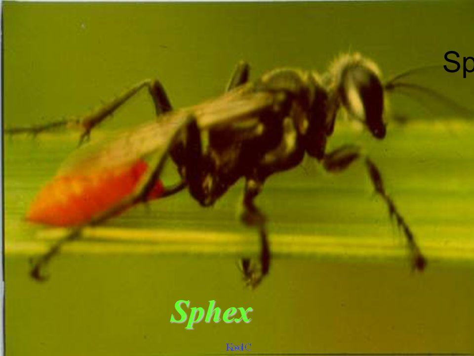 Sphex Sphex