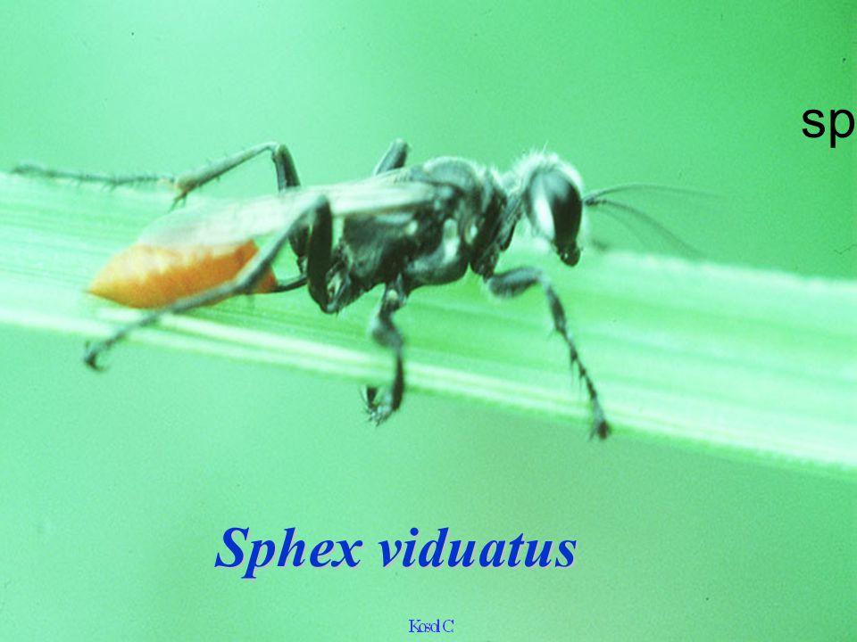 sphex Sphex viduatus