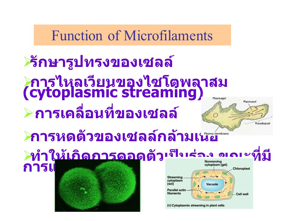 Function of Microfilaments