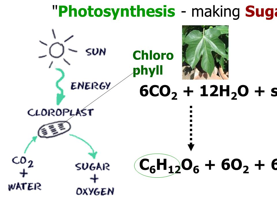 Photosynthesis - making Sugar from Sunlight