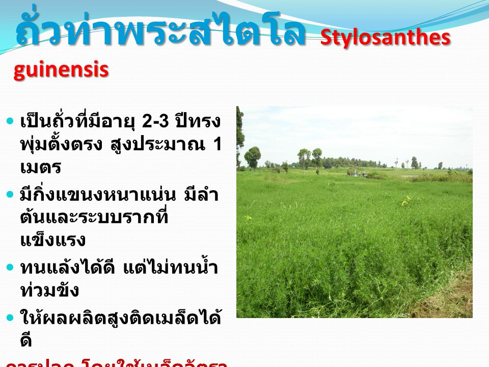 ถั่วท่าพระสไตโล Stylosanthes guinensis