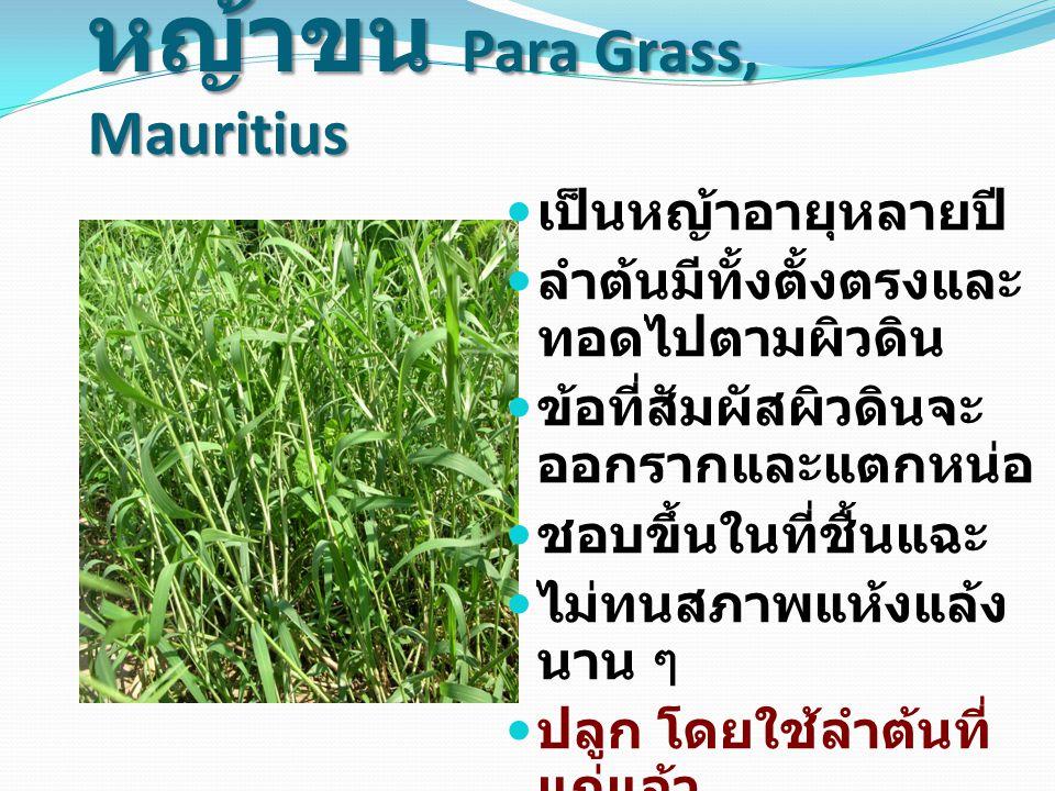 หญ้าขน Para Grass, Mauritius