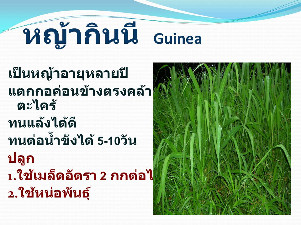 หญ้ากินนี Guinea เป็นหญ้าอายุหลายปี แตกกอค่อนข้างตรงคล้ายตะไคร้
