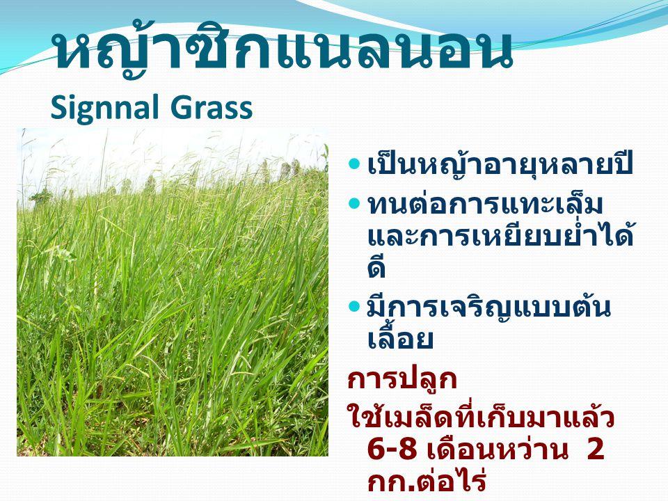 หญ้าซิกแนลนอน Signnal Grass