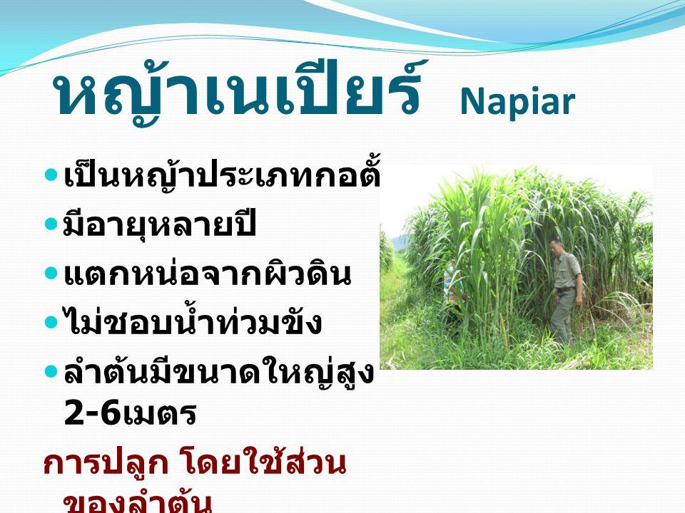 หญ้าเนเปียร์ Napiar เป็นหญ้าประเภทกอตั้ง มีอายุหลายปี แตกหน่อจากผิวดิน