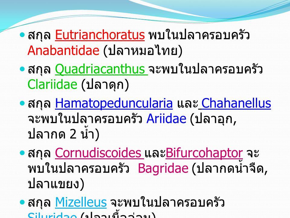 สกุล Eutrianchoratus พบในปลาครอบครัว Anabantidae (ปลาหมอไทย)