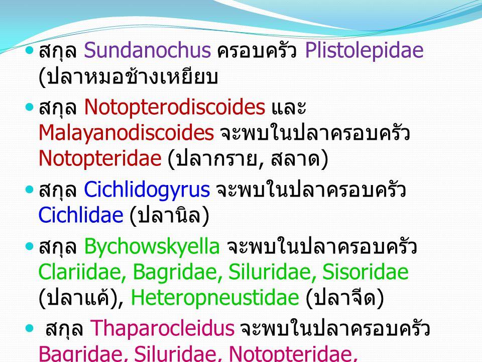 สกุล Sundanochus ครอบครัว Plistolepidae (ปลาหมอช้างเหยียบ