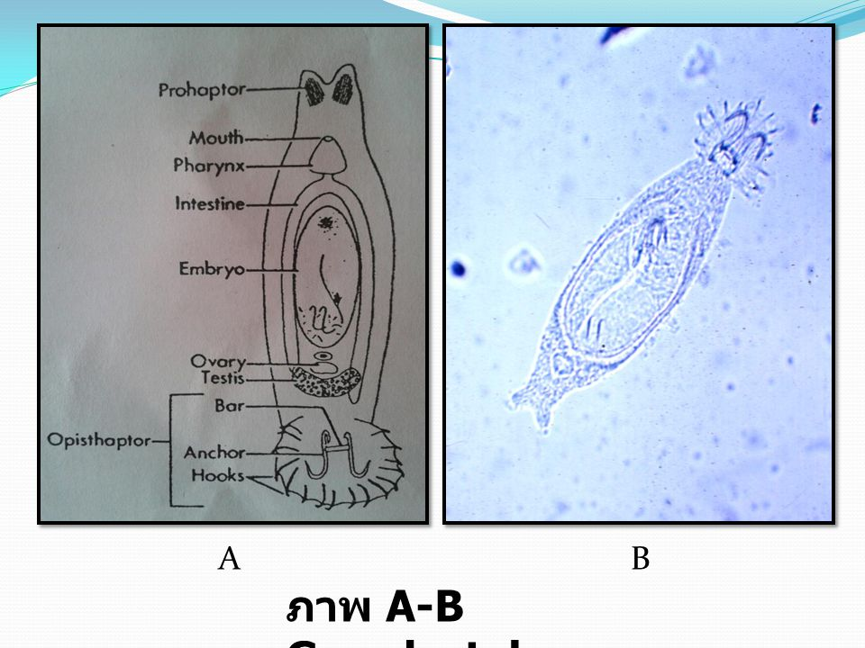 A B ภาพ A-B Gyrodactylus