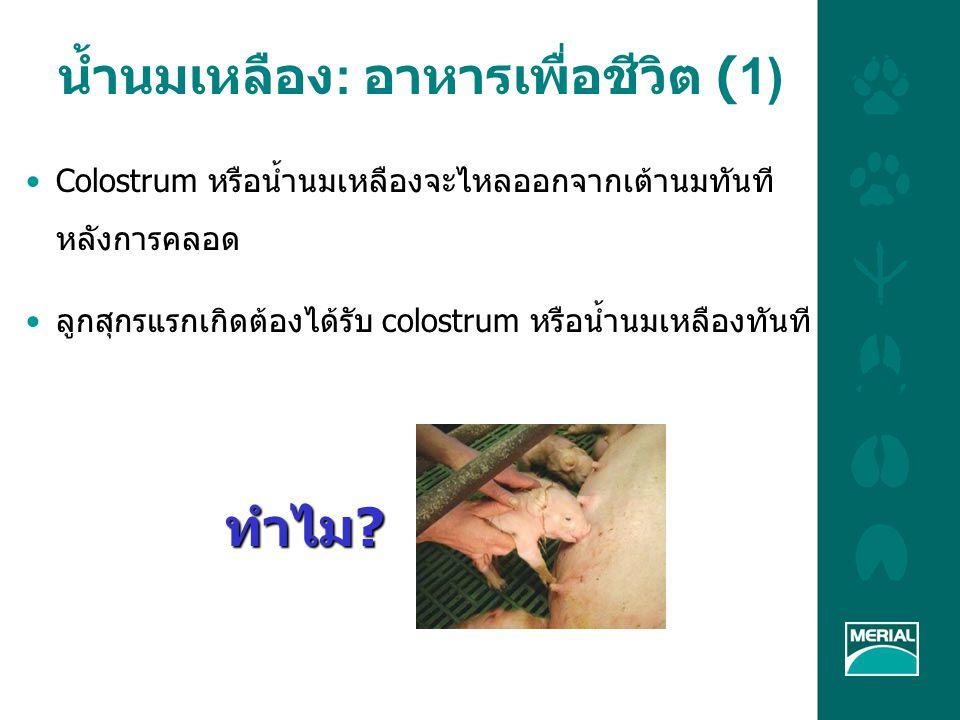 น้ำนมเหลือง: อาหารเพื่อชีวิต (1)