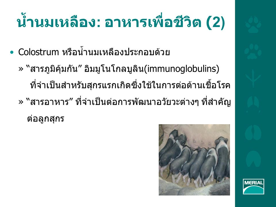น้ำนมเหลือง: อาหารเพื่อชีวิต (2)
