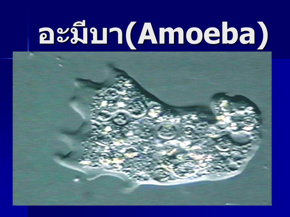 อะมีบา(Amoeba)