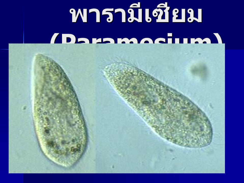 พารามีเซียม(Paramesium)