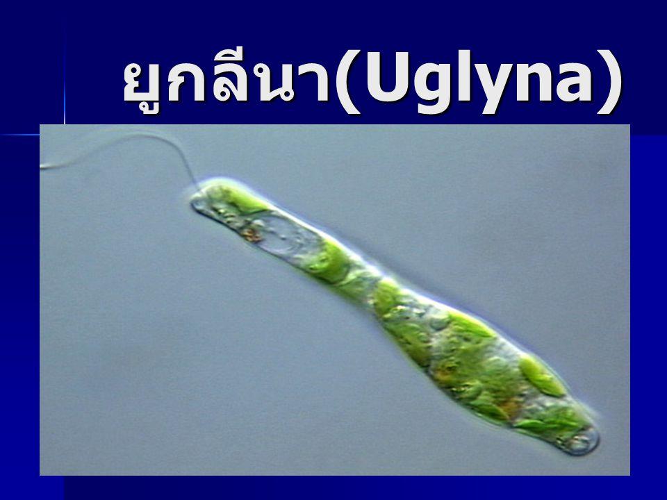 ยูกลีนา(Uglyna)