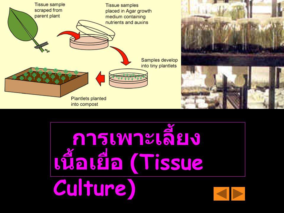 การเพาะเลี้ยงเนื้อเยื่อ (Tissue Culture)