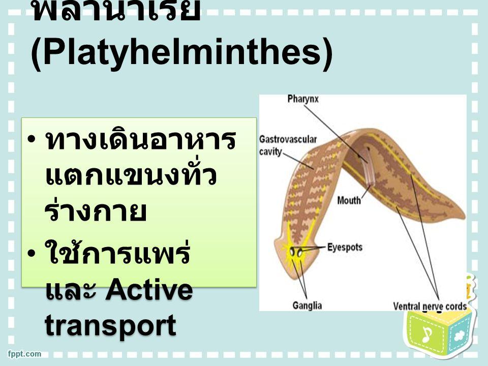 พลานาเรีย (Platyhelminthes)