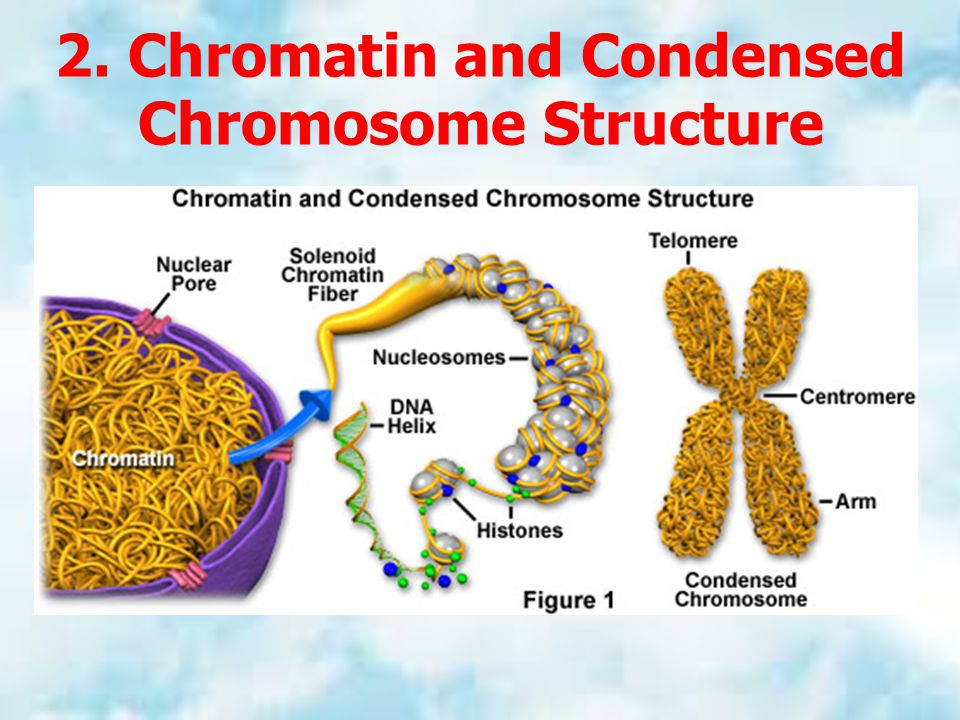 2. Chromatin and Condensed Chromosome Structure