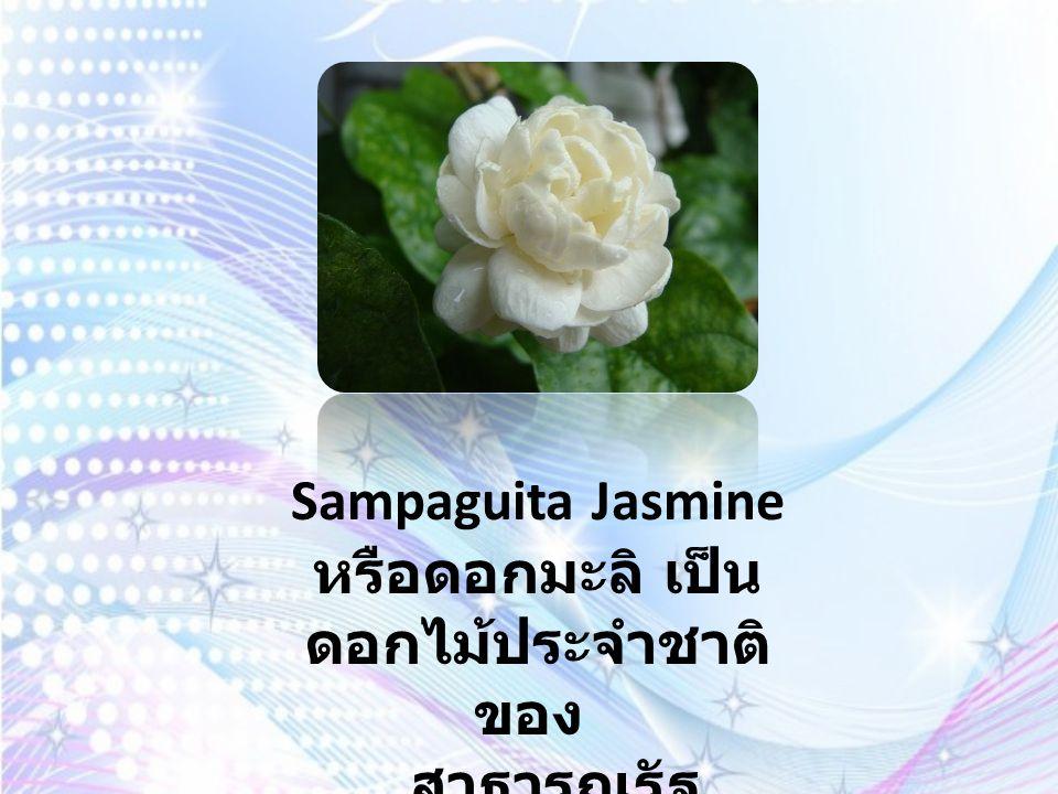 Sampaguita Jasmine หรือดอกมะลิ เป็นดอกไม้ประจำชาติของ สาธารณรัฐฟิลิปปินส์