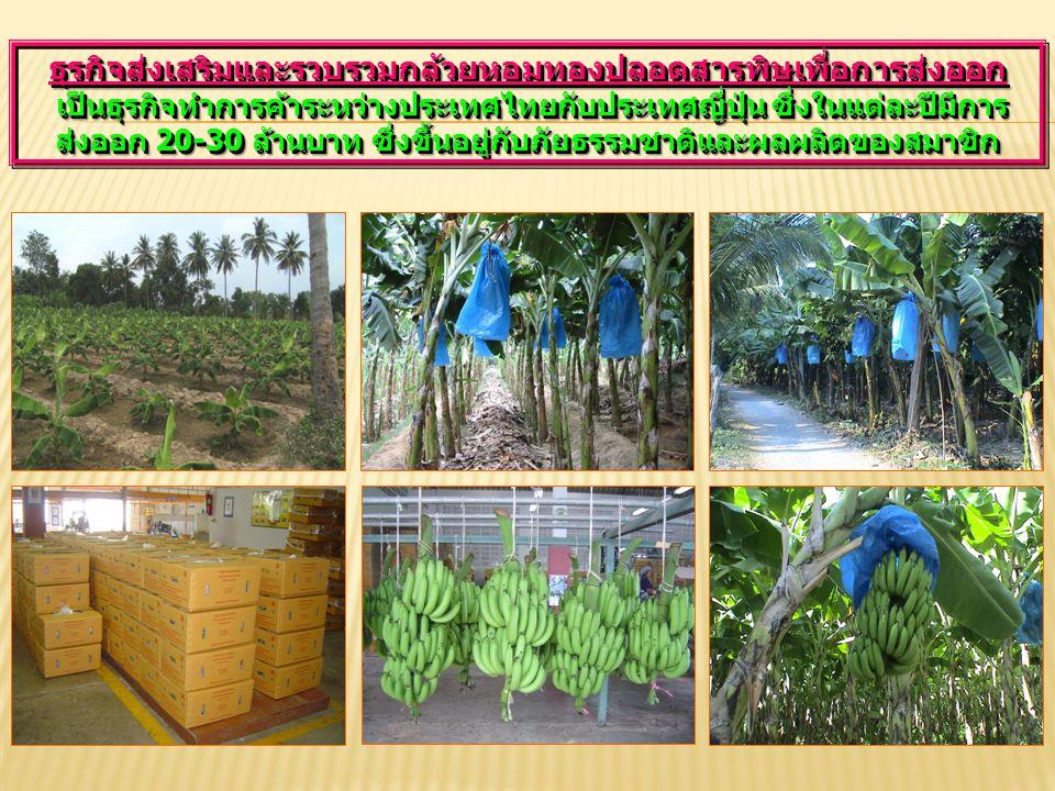 ธุรกิจส่งเสริมและรวบรวมกล้วยหอมทองปลอดสารพิษเพื่อการส่งออก เป็นธุรกิจทำการค้าระหว่างประเทศไทยกับประเทศญี่ปุ่น ซึ่งในแต่ละปีมีการส่งออก 20-30 ล้านบาท ซึ่งขึ้นอยู่กับภัยธรรมชาติและผลผลิตของสมาชิก
