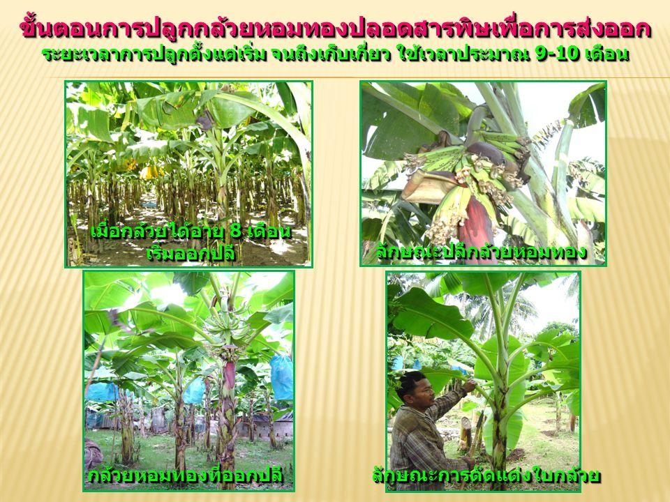 ขั้นตอนการปลูกกล้วยหอมทองปลอดสารพิษเพื่อการส่งออก ระยะเวลาการปลูกตั้งแต่เริ่ม จนถึงเก็บเกี่ยว ใช้เวลาประมาณ 9-10 เดือน