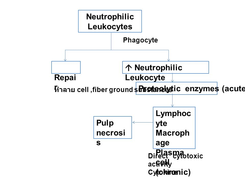 Neutrophilic Leukocytes