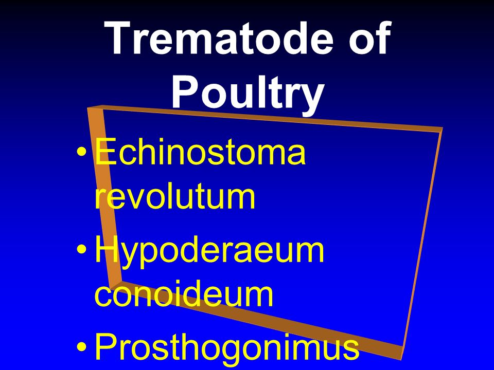 Trematode of Poultry Echinostoma revolutum Hypoderaeum conoideum