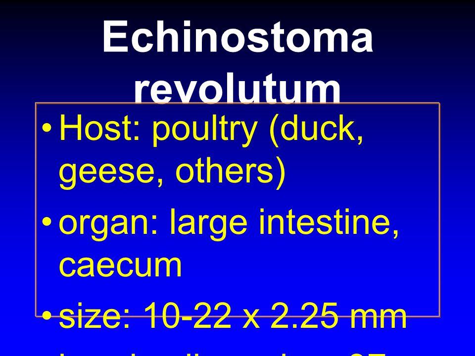 Echinostoma revolutum