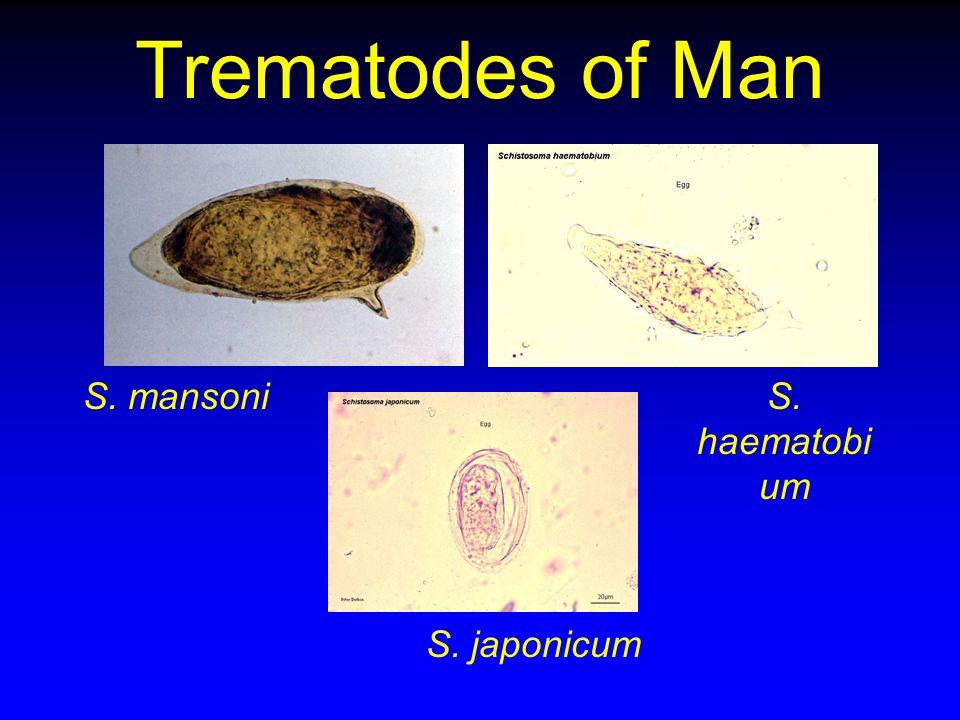 Trematodes of Man S. mansoni S. haematobium S. japonicum