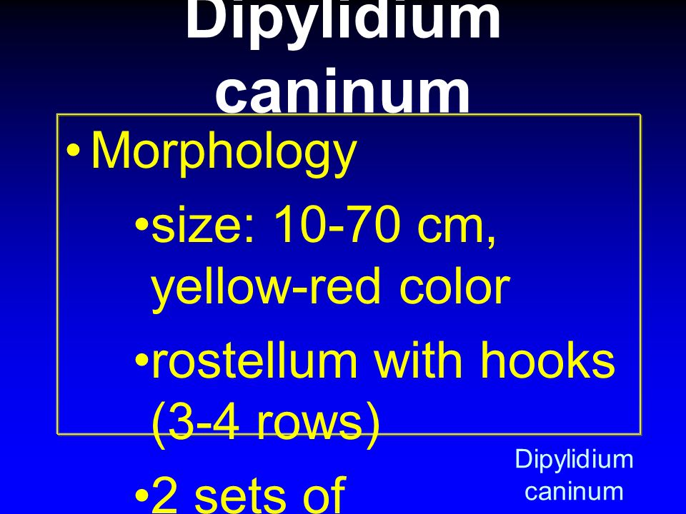 Dipylidium caninum Morphology size: 10-70 cm, yellow-red color
