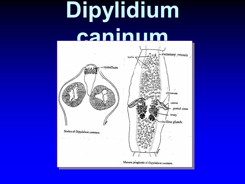 Dipylidium caninum