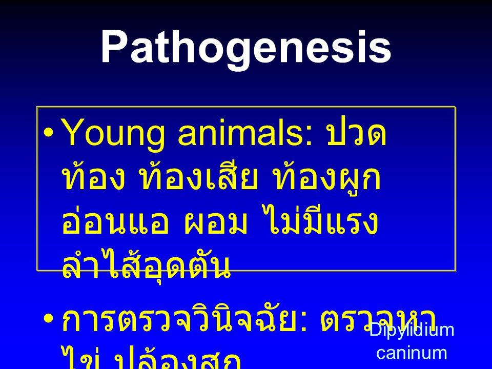 Pathogenesis Young animals: ปวดท้อง ท้องเสีย ท้องผูก อ่อนแอ ผอม ไม่มีแรง ลำไส้อุดตัน. การตรวจวินิจฉัย: ตรวจหาไข่ ปล้องสุก.