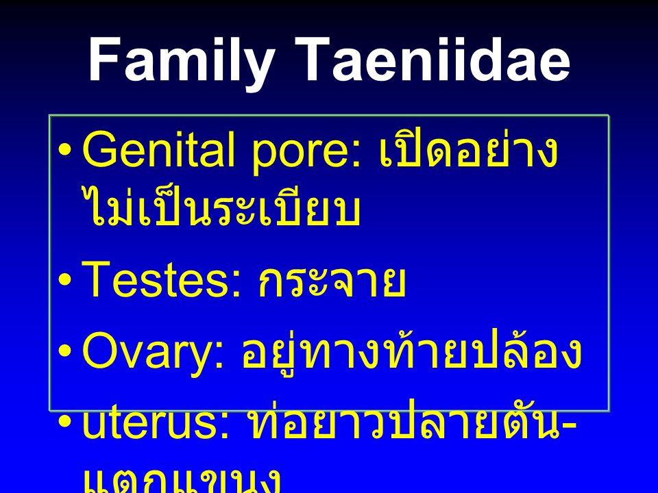 Family Taeniidae Genital pore: เปิดอย่างไม่เป็นระเบียบ Testes: กระจาย