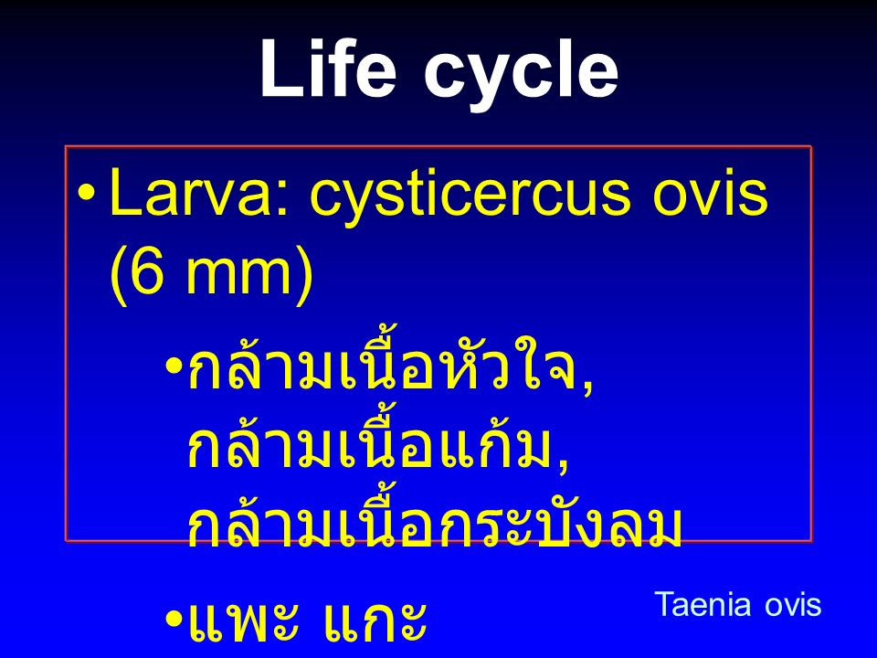 Life cycle Larva: cysticercus ovis (6 mm)