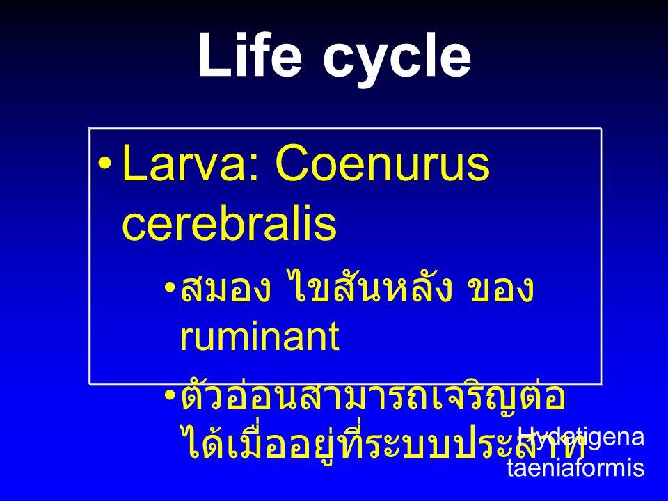 Life cycle Larva: Coenurus cerebralis สมอง ไขสันหลัง ของ ruminant