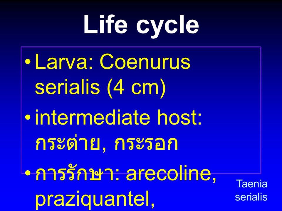 Life cycle Larva: Coenurus serialis (4 cm)
