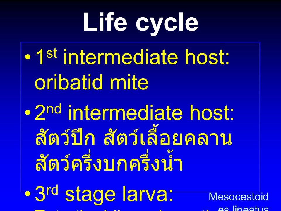 Life cycle 1st intermediate host: oribatid mite