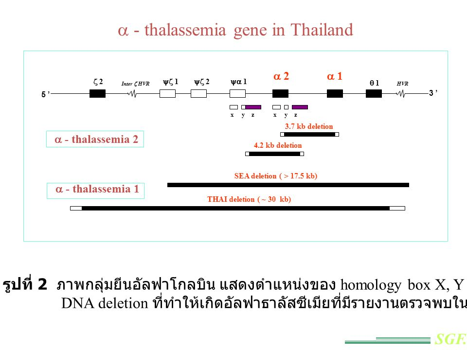 a - thalassemia gene in Thailand