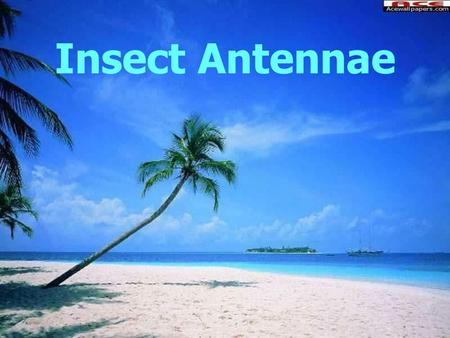 Insect Antennae.