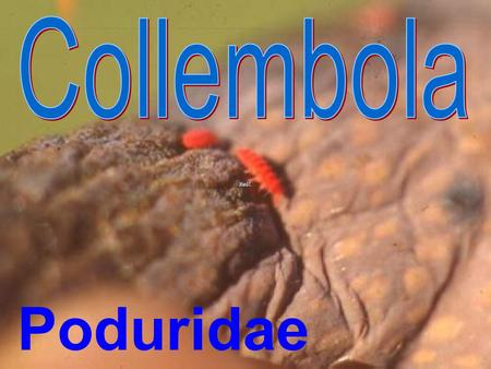 Collembola: Poduridae